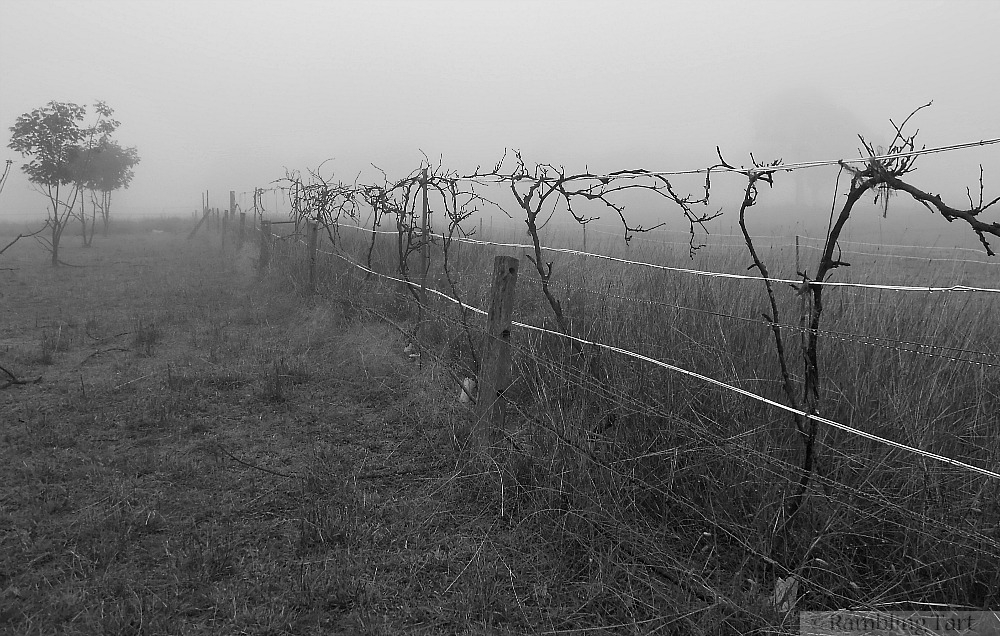 foggy grape vines