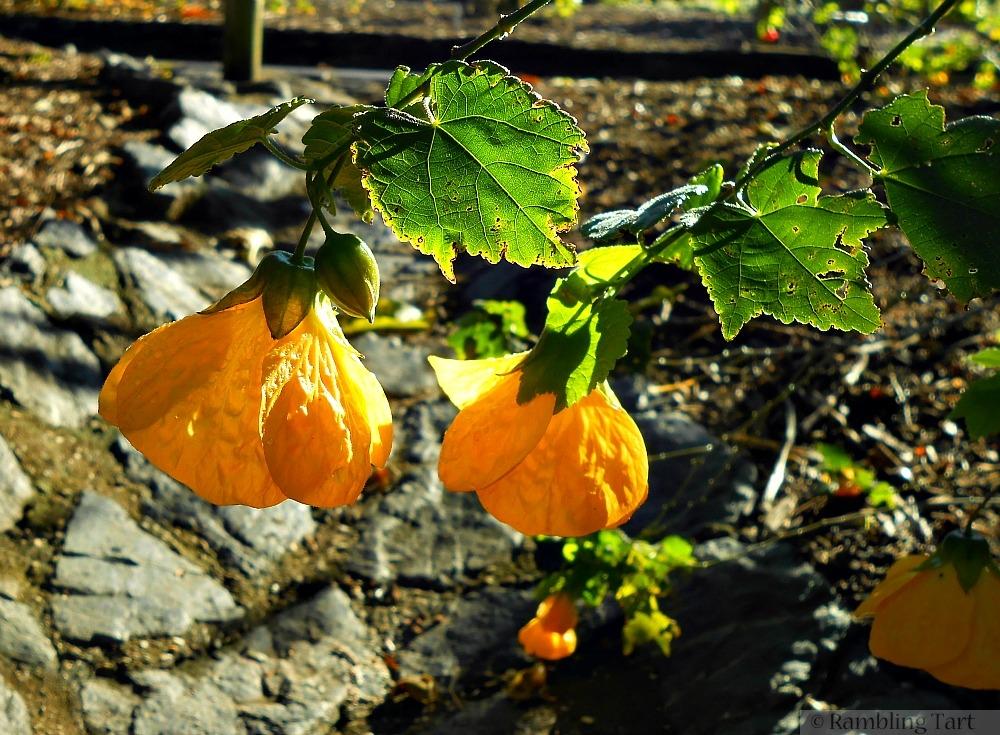 yellow lantern flowers