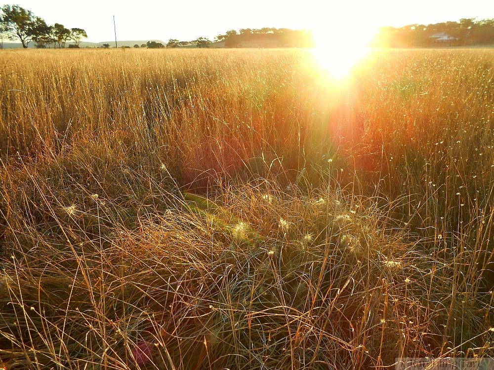 field of foxtails