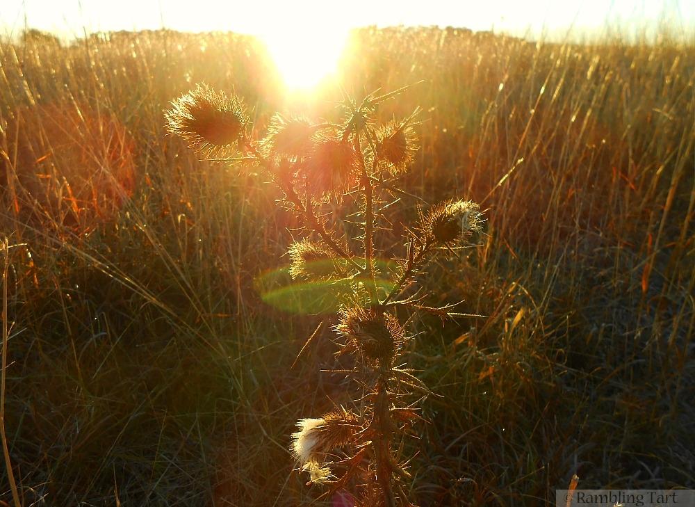 sunlit thistles