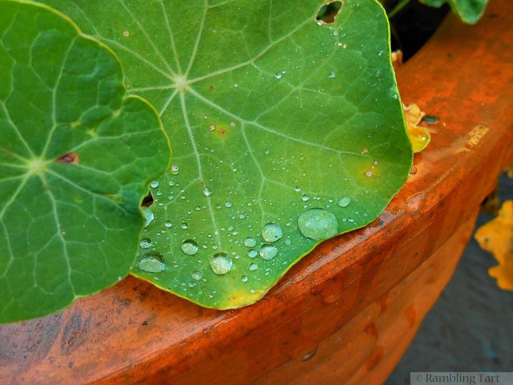 dew on nasturtium leaves