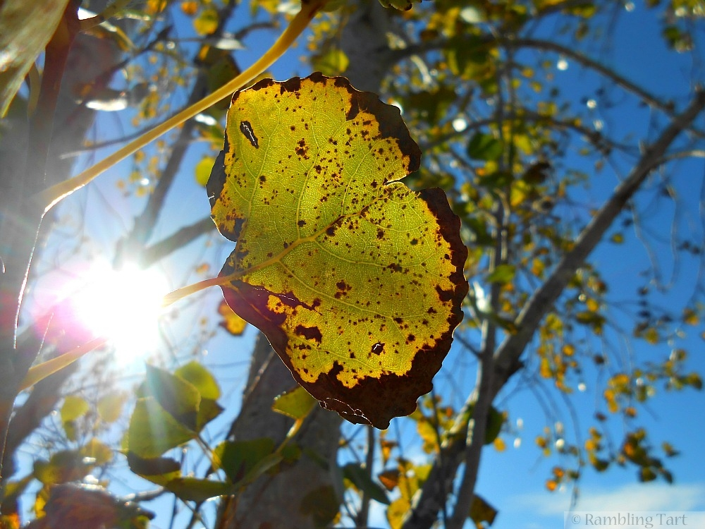 sun through poplar leaves