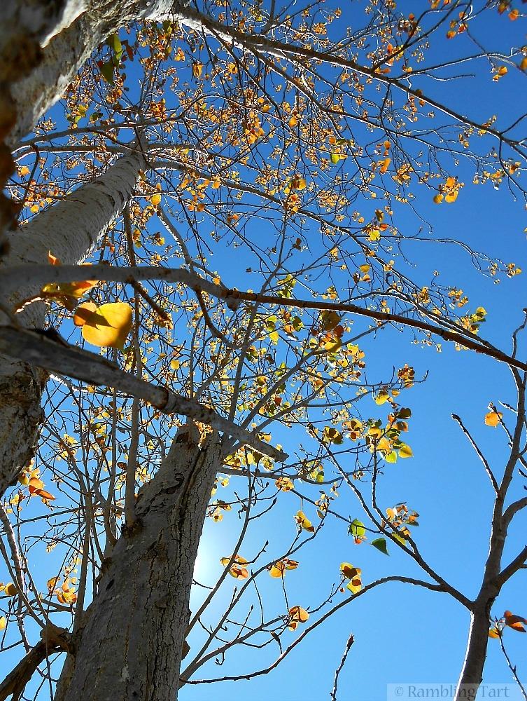 sunlit poplar trees