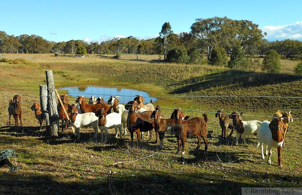 kalahari goats feeding