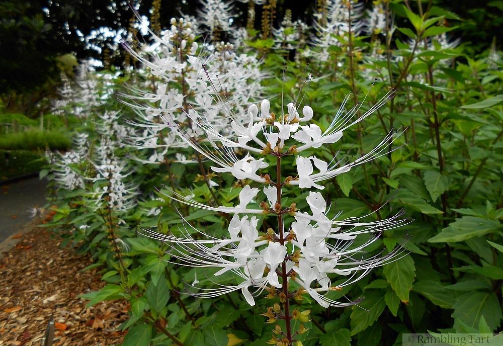 white tropical spider blossom