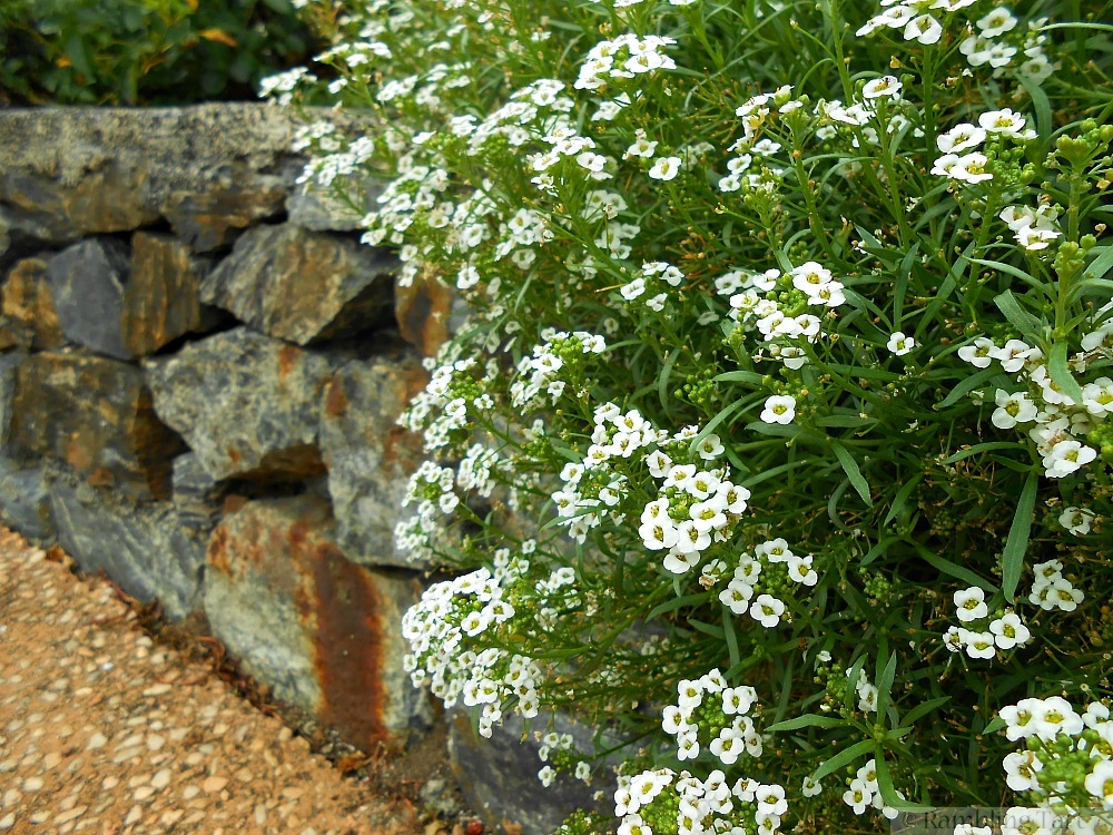 alyssum on a rock wall
