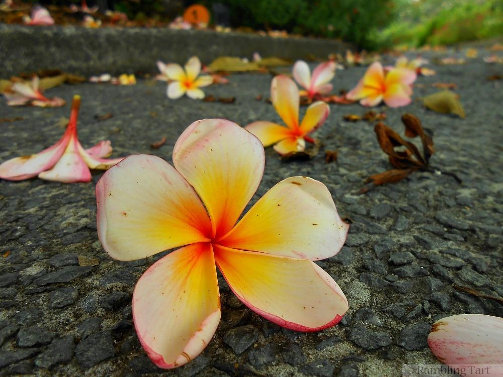 frangipani on rock path