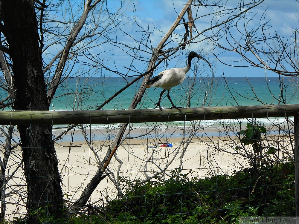 ibis at Burleigh Heads
