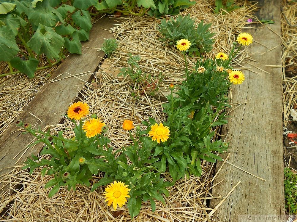 calendula plants