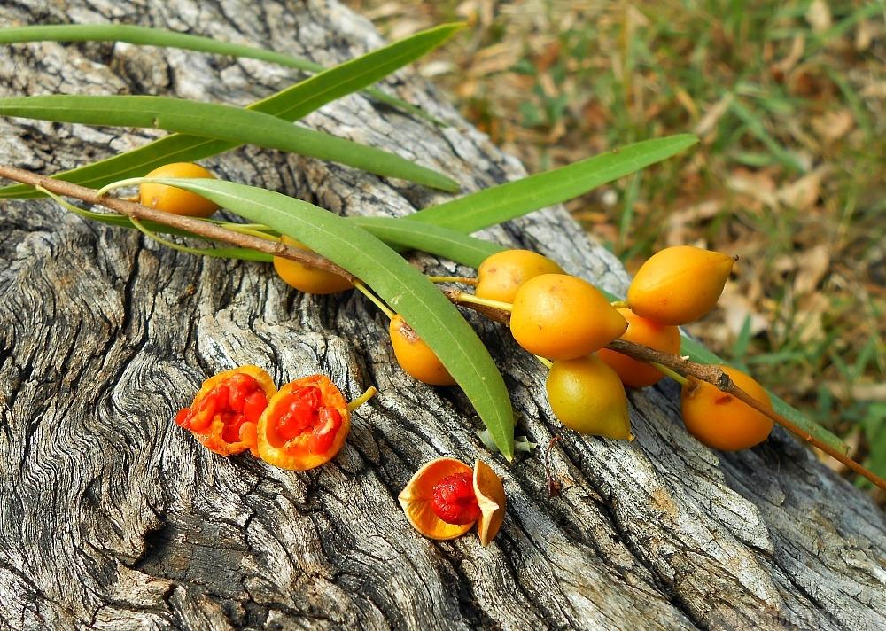 gumbi gumbi fruit
