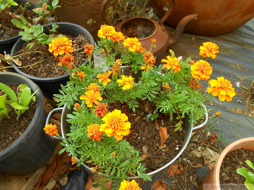 pot of marigolds