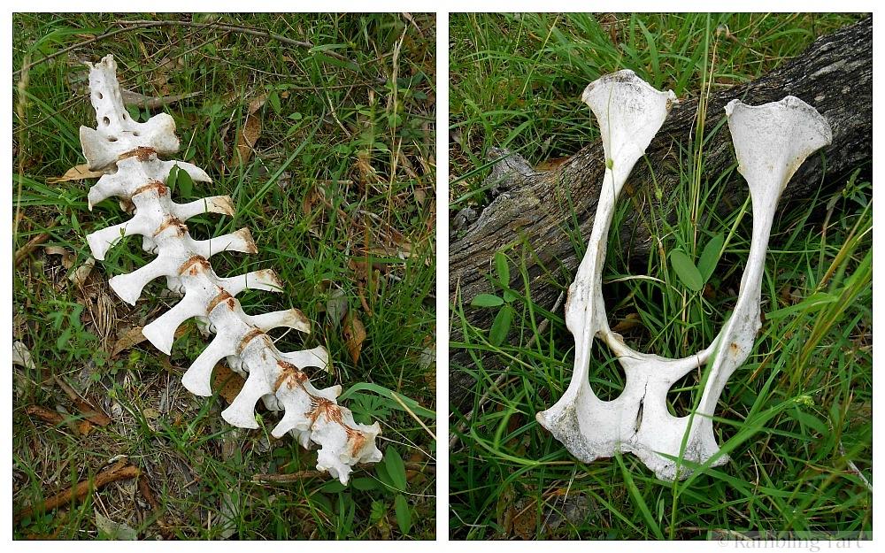 bleached goat bones