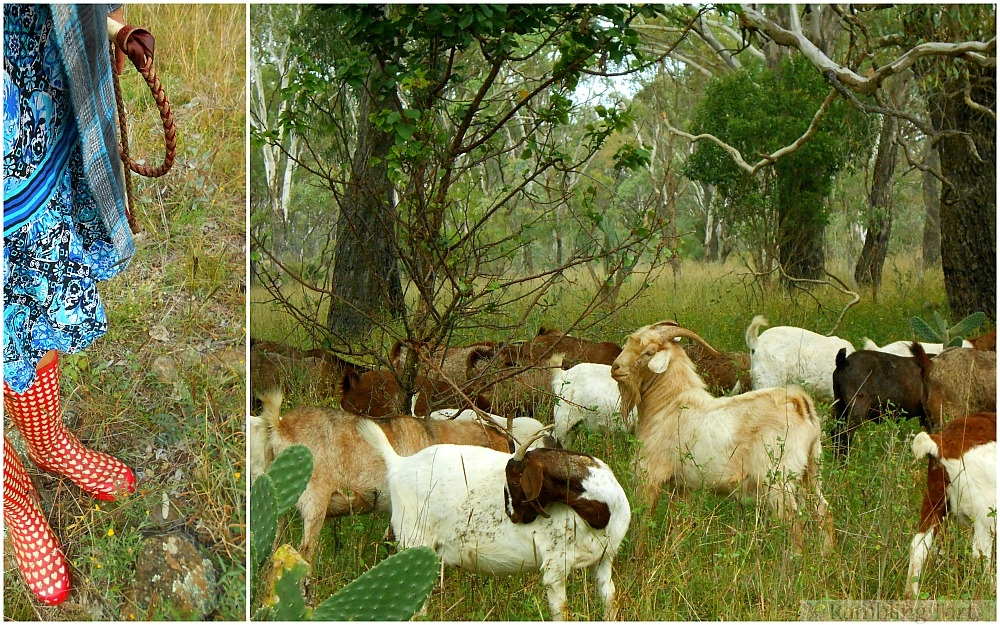goats in the woods