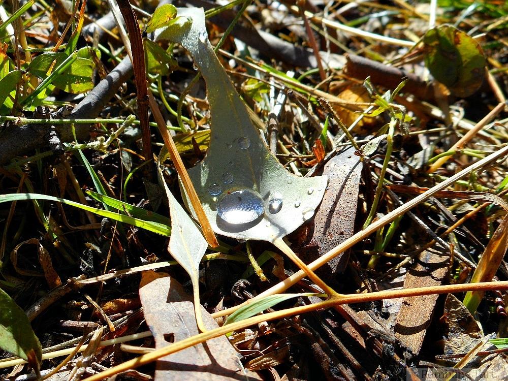dew on old leaf