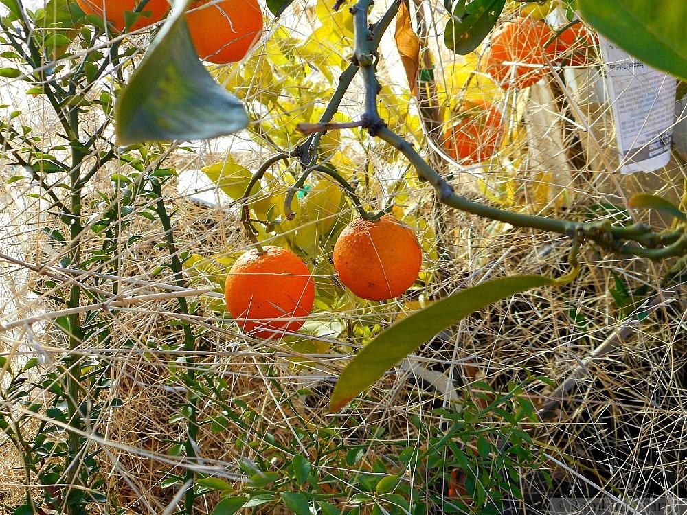 oranges and tumbleweed