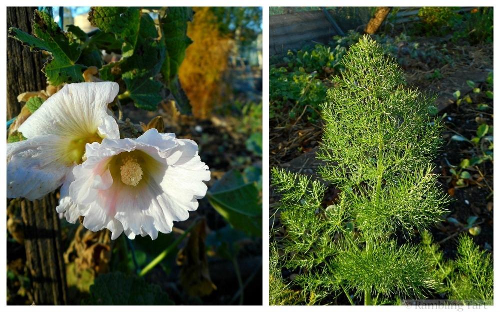hollyhocks and fennel