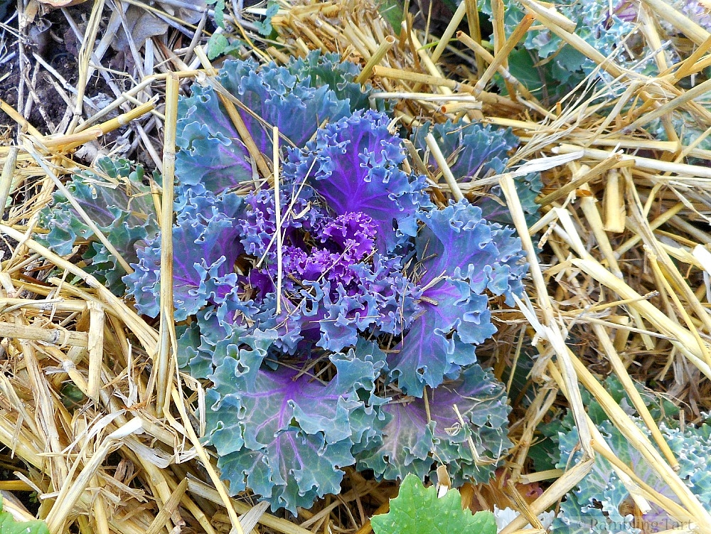 multi-colored kale
