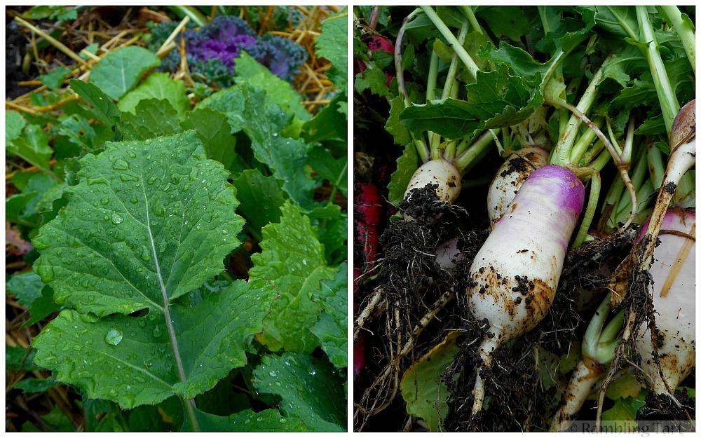 fresh garden radishes