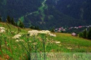 wildflowers in Austrian Alps
