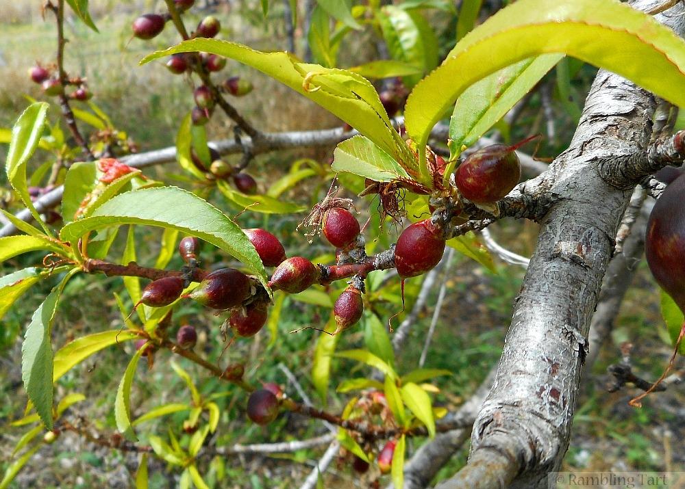 budding fruit