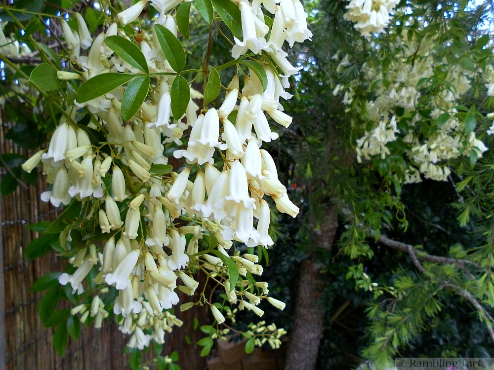 white bell flowers