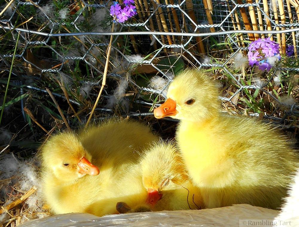 Embden goslings