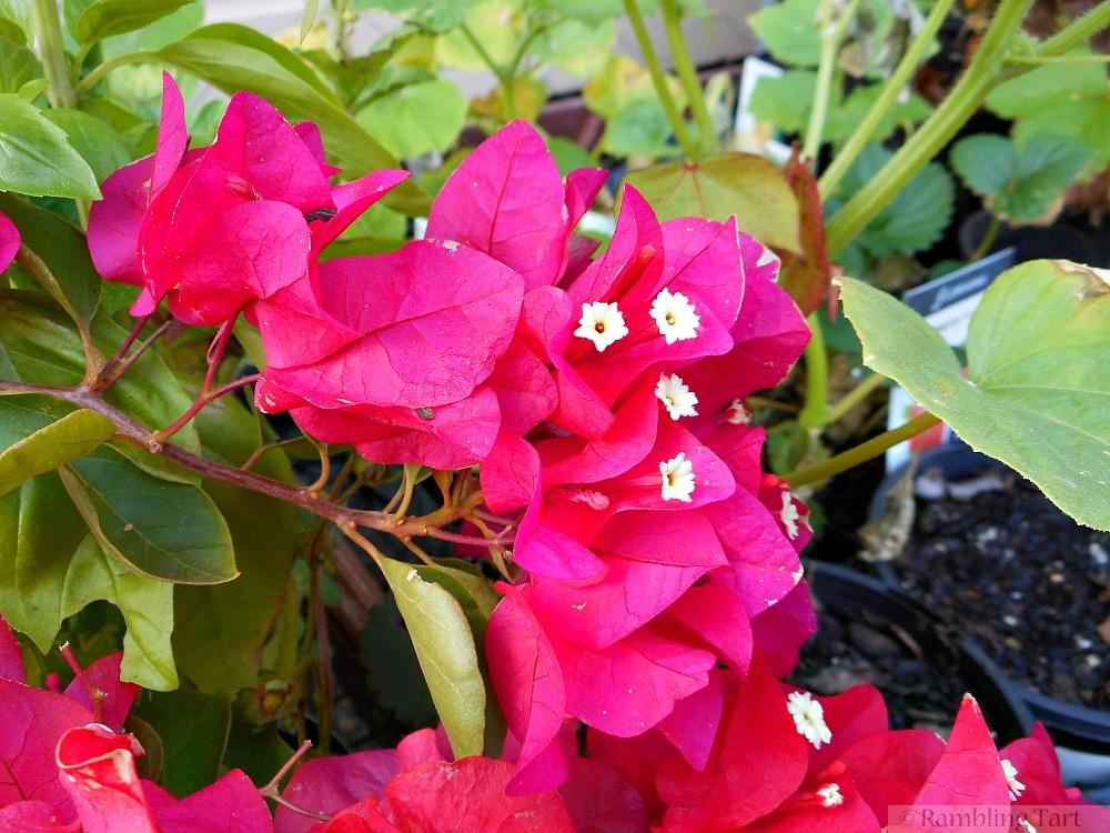 fuchsia bougainvillea