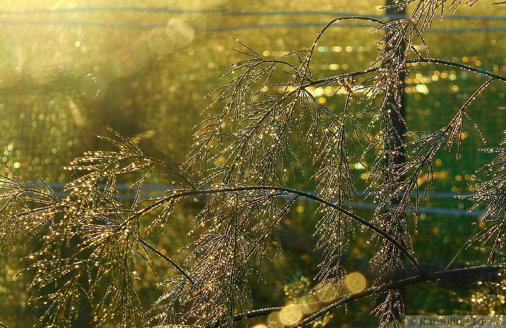 sunrise through asparagus