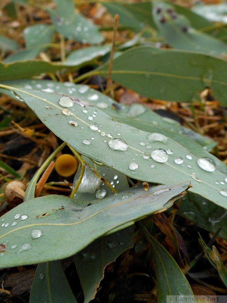 rain drops on gum leaves