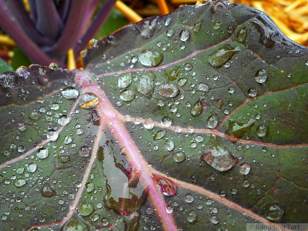 water droplets on red cabbage leaf