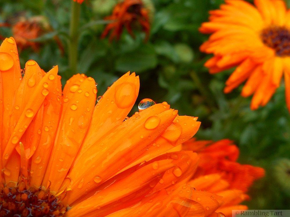 rain on calendula