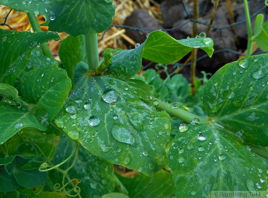 raindrops on peas