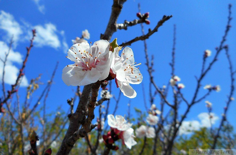 fruit blossoms
