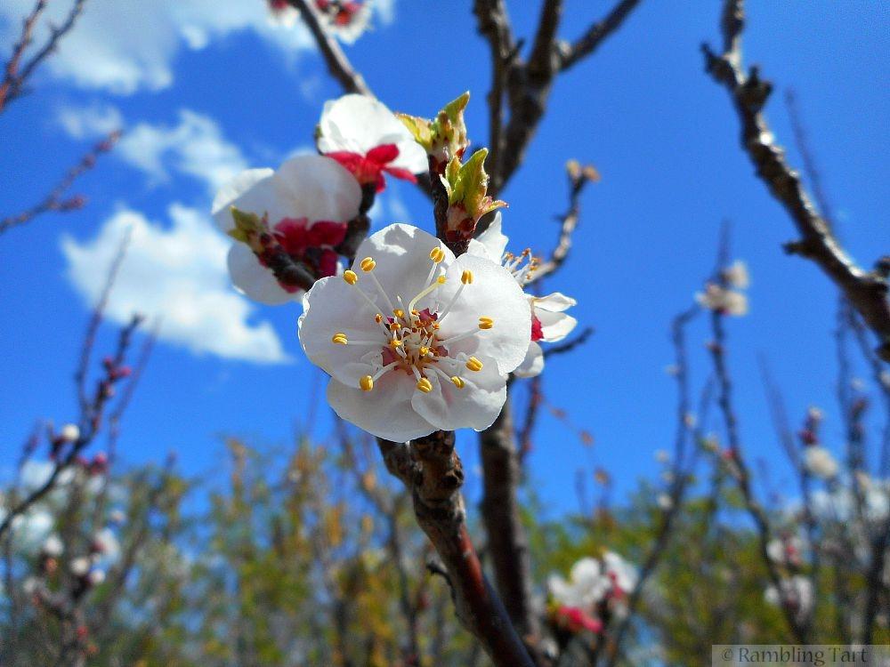 white fruit blossoms