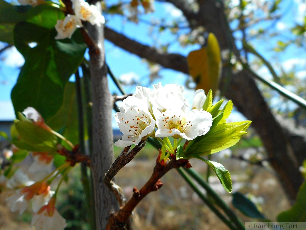 white fruit blossom