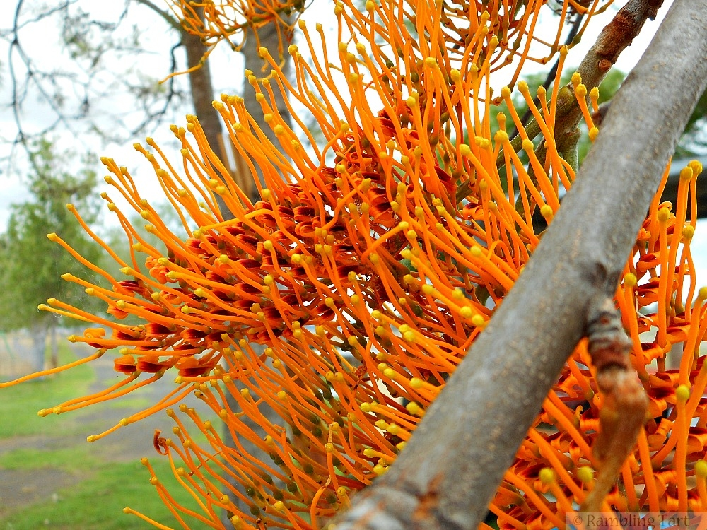 orange grevillea