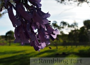purple jacaranda blossoms