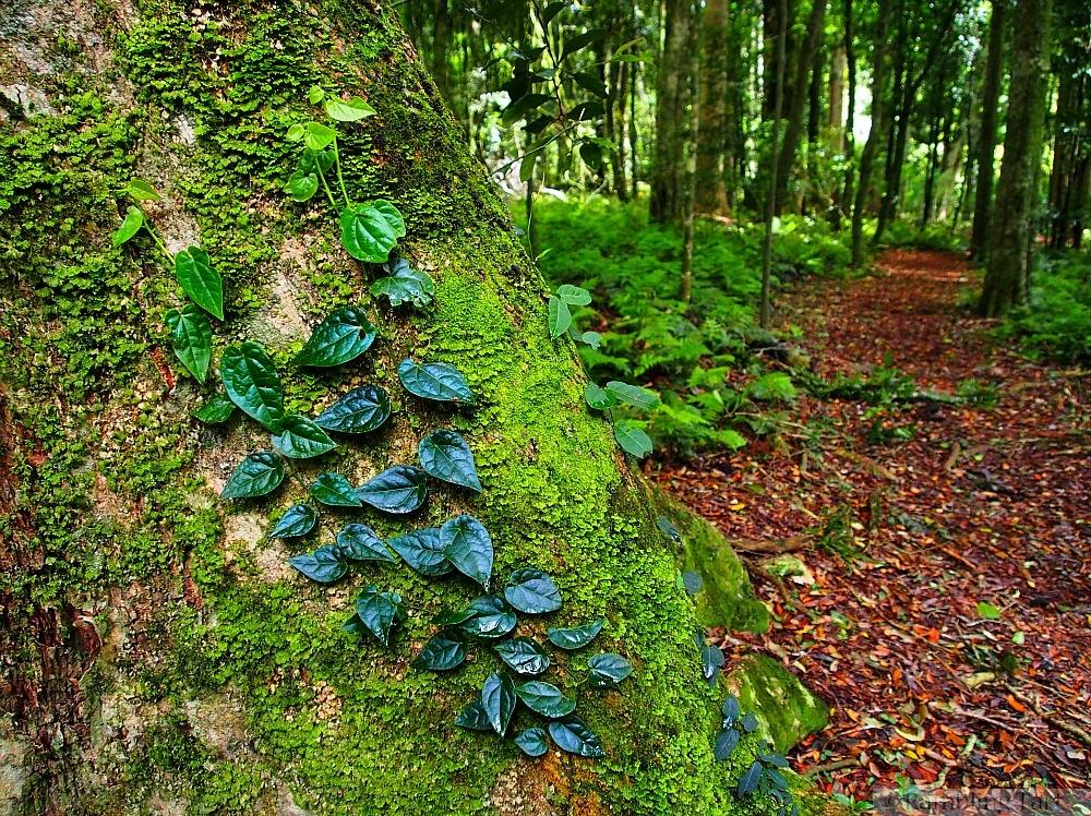 ivy in rainforest