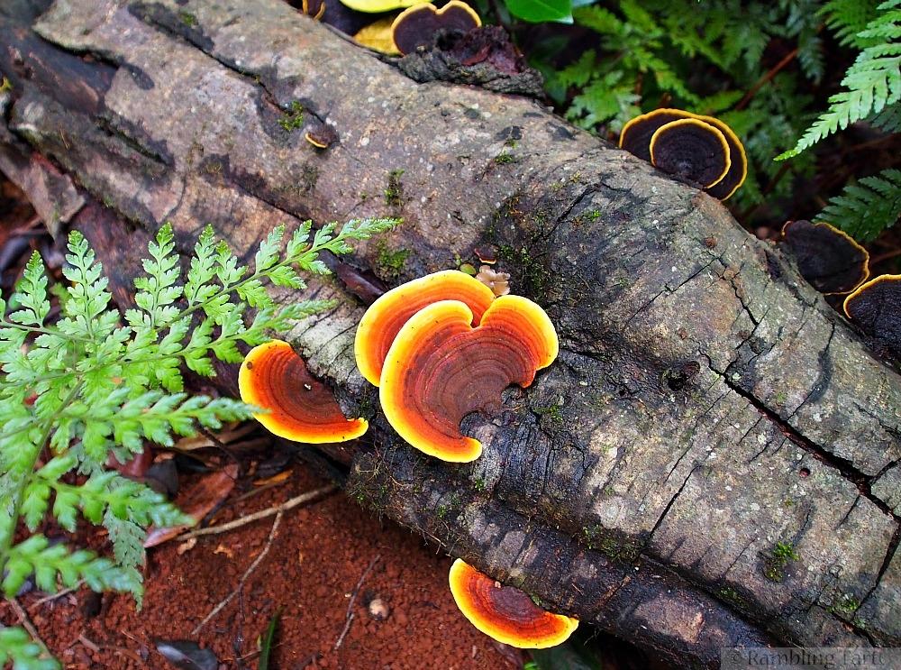 rainforest fungus orange