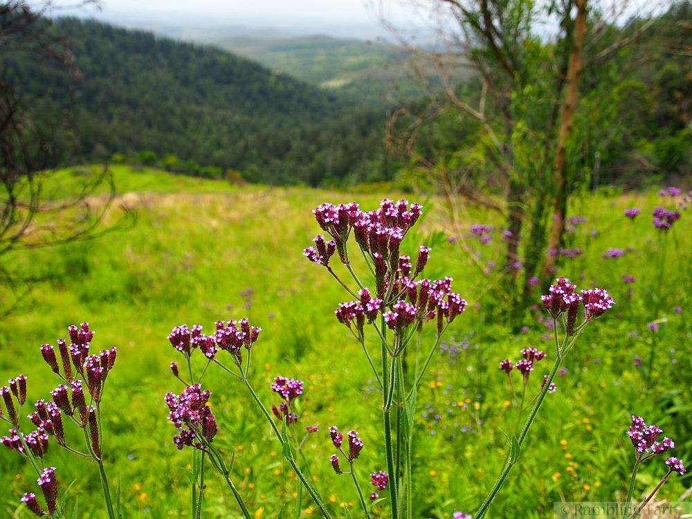 wildflowers in alpine meadow