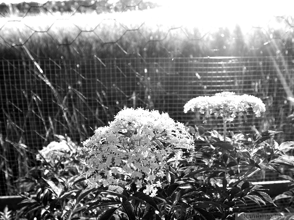 elderflowers and sunlight