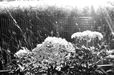 elderflowers and sunlight