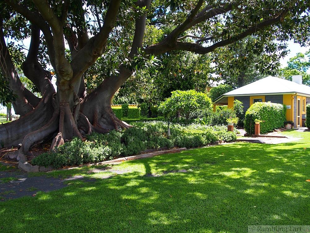 old tree at Jimbour House