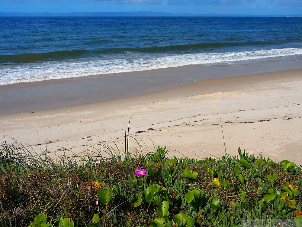 Bribie Island beach flower