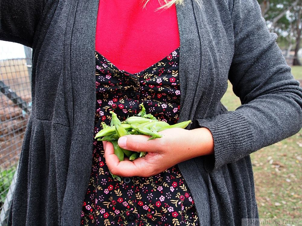picking sugar snap peas