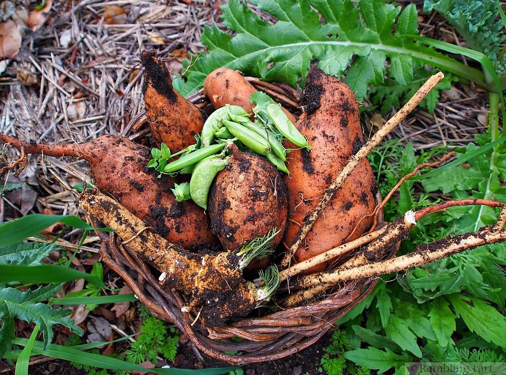 harvesting horseradish