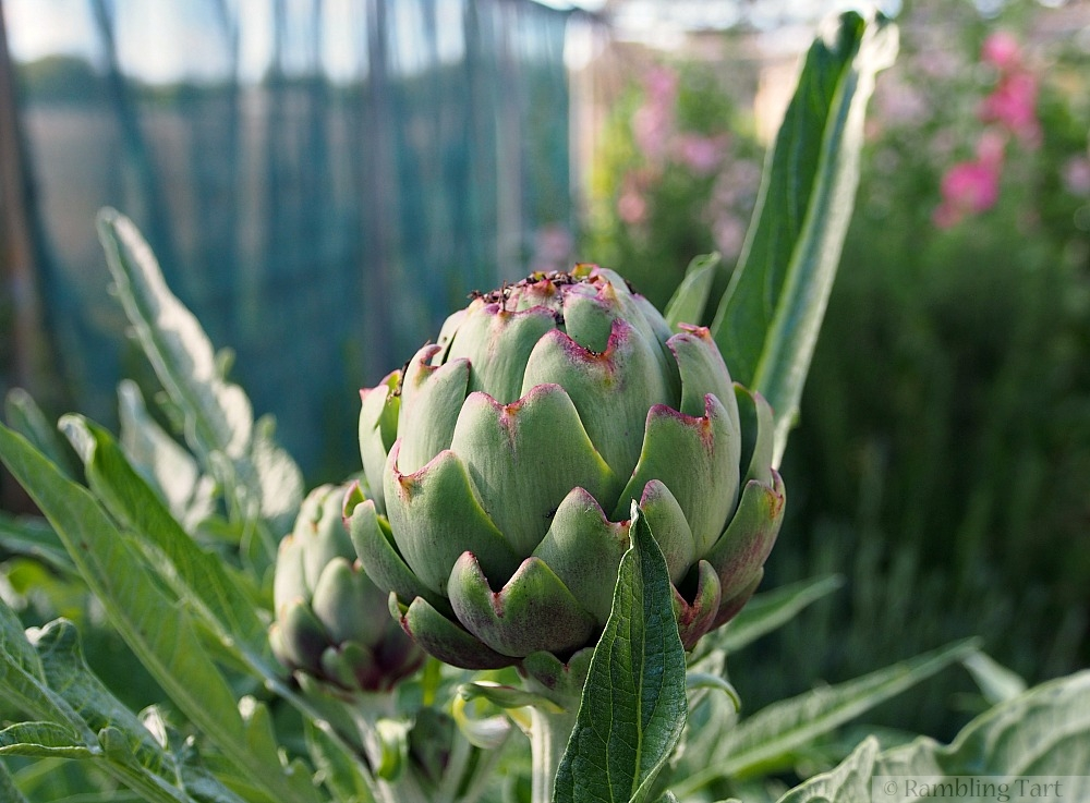 purple tinged artichokes