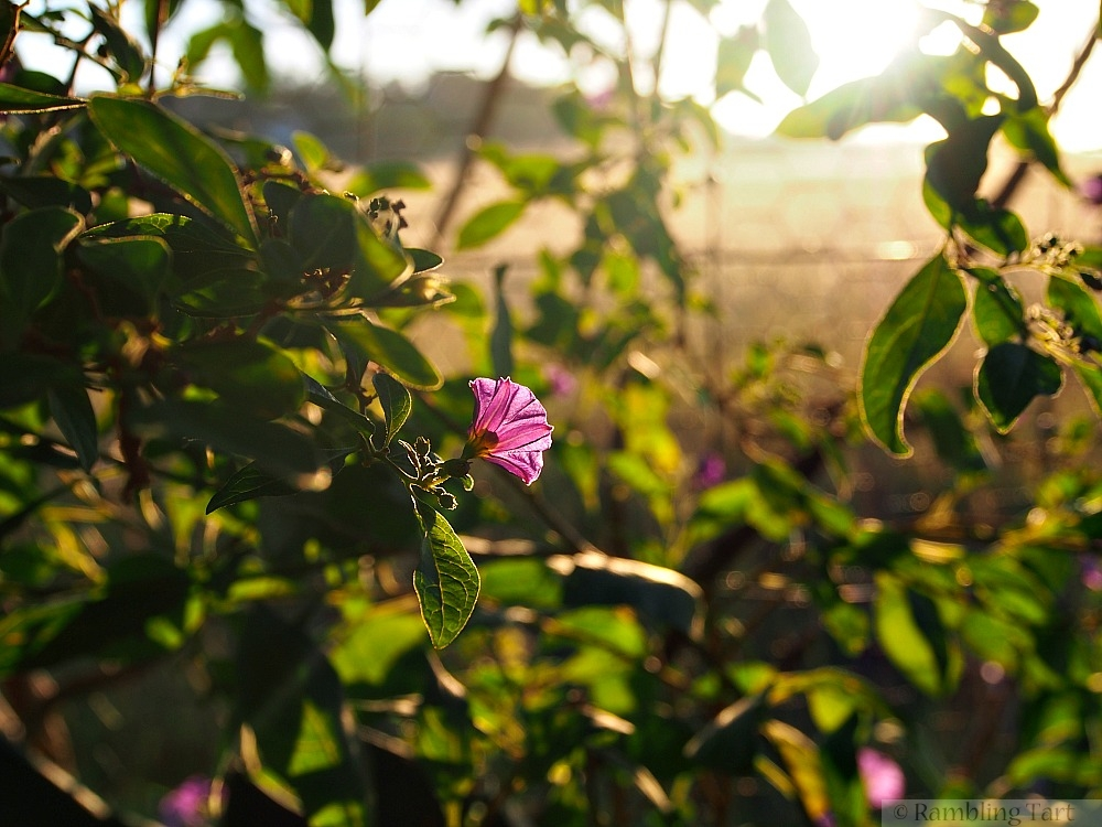 potato flower at sunrise
