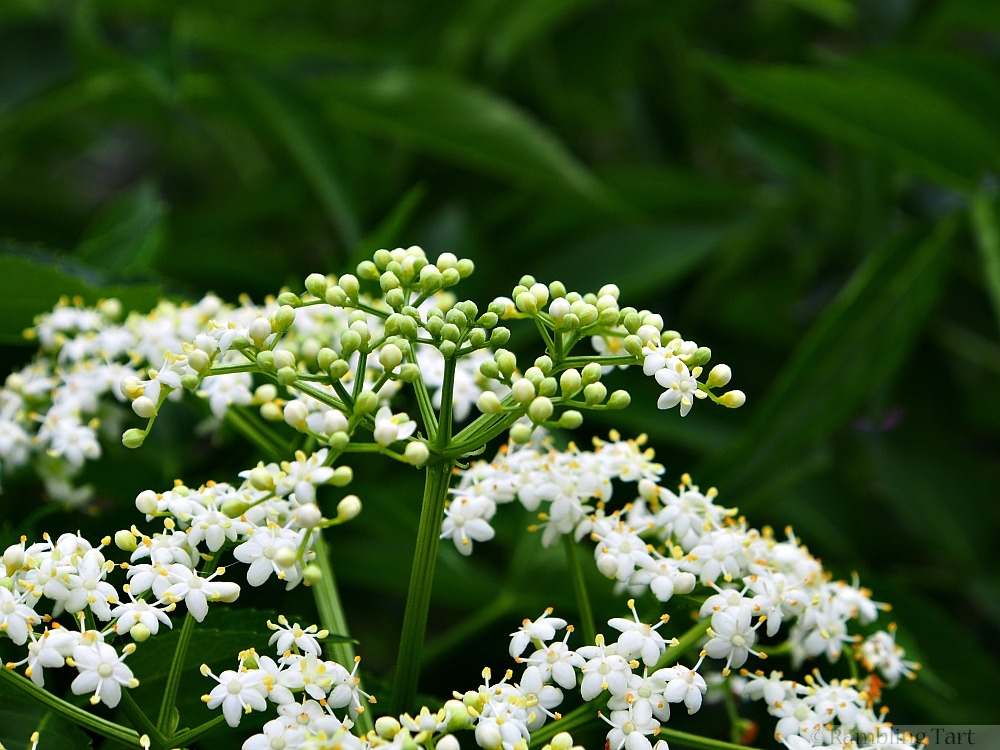 elderflower buds