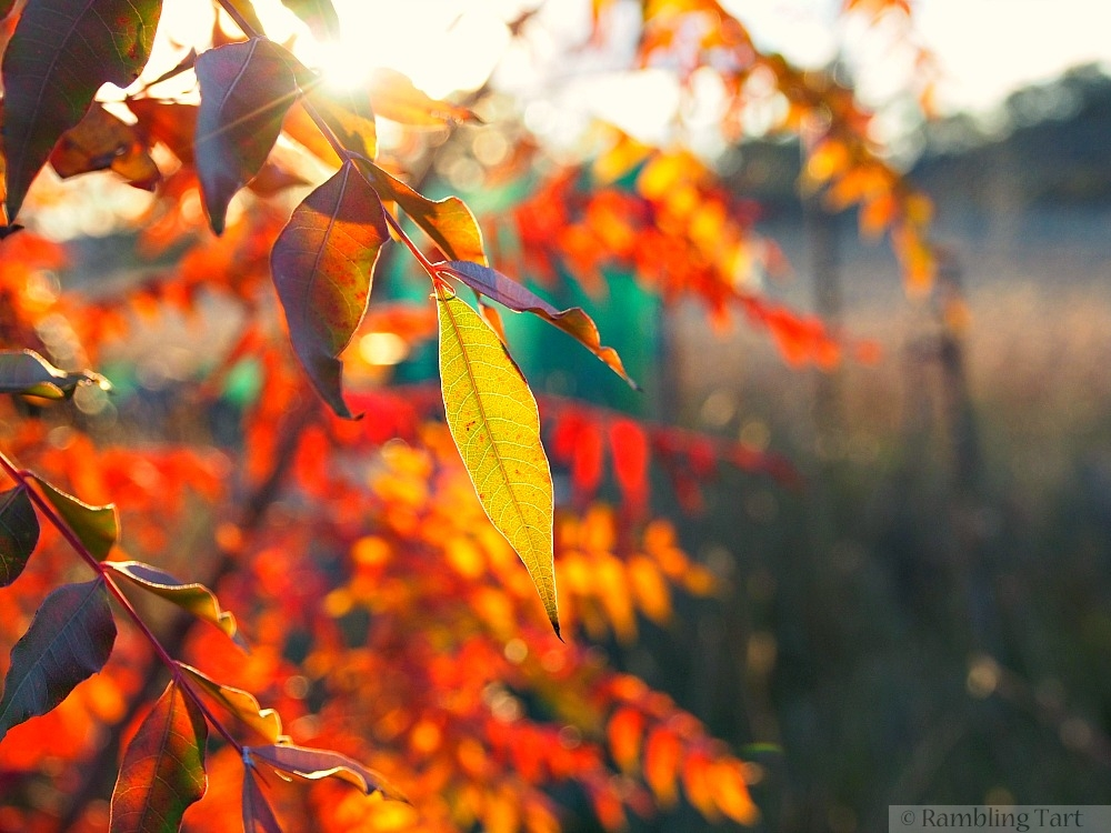 sunset through autumn leaves